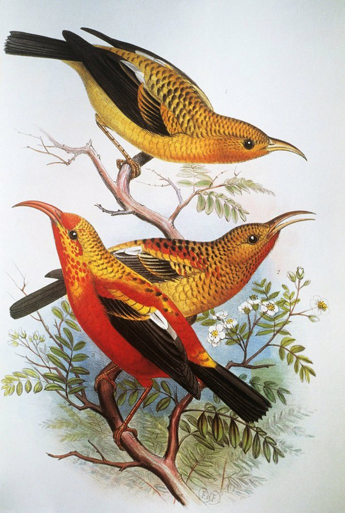c. 1893_1900 Frederick Frohawk, Native Hawaiian Birds, Vintage painting of unique species of I´iwi. : Stock Photo