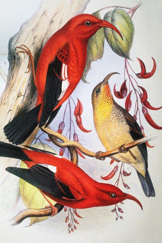 Stock Photo: 1760-13266 c. 1893_1900 Frederick Frohawk, Native Hawaiian Birds, Vintage painting of Red Hawaiian Honeycreeper or I´iwi Polena Vestiaria coccinea.