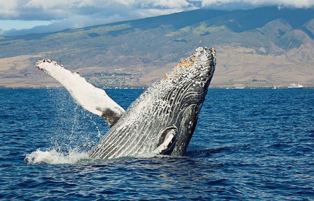 Hawaii, Maui, Humpback Whale Megaptera novaeangliae breaching off shore. : Stock Photo