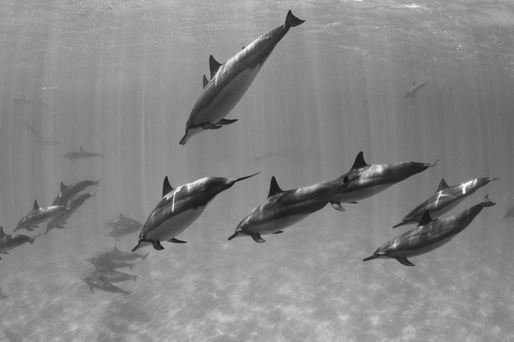 Stock Photo: 1760-13411 Hawaii, Lanai, Hulopoe Bay, Spinner Dolphins Stenella longirostris underwater, Black and white photograph.