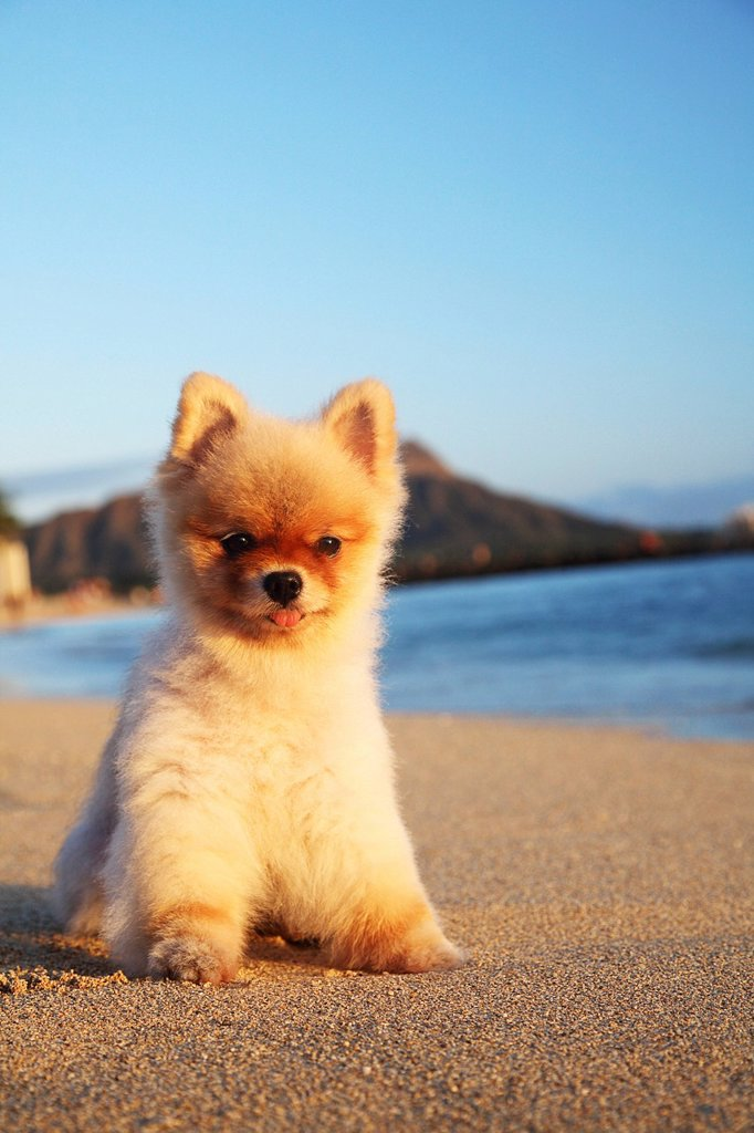 Hawaii, Oahu, Waikiki, Young Pomeranian puppy relaxes on beach in front of Diamond Head. : Stock Photo