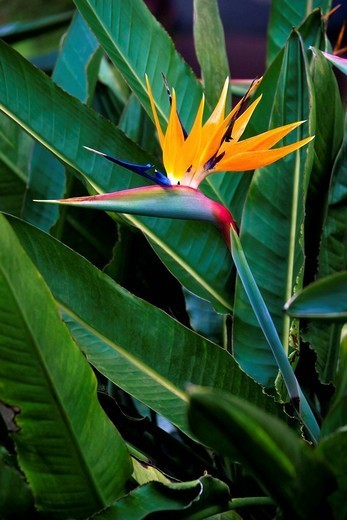 Stock Photo: 1760-13583 Hawaii, Bird of Paradise blossom.