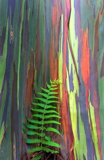 Stock Photo: 1760-13613 Hawaii, Maui, Rainbow Eucalyptus tree trunk and fern.