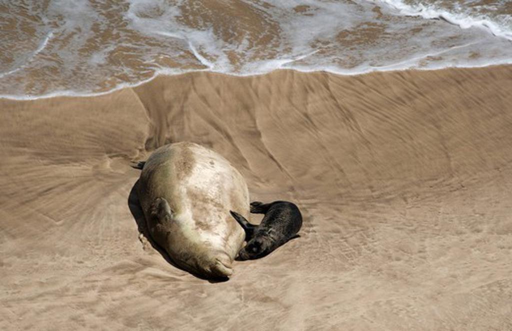 Hawaii, Maui, Hana, Monk seal and baby on beach. : Stock Photo