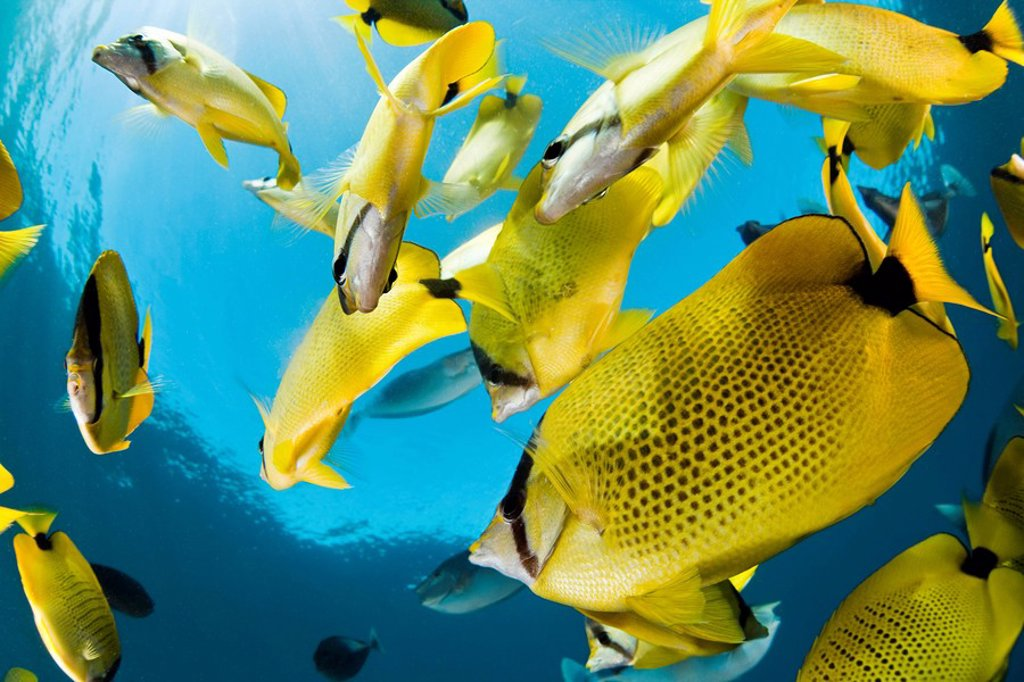 Hawaii, Maui, Milletseed Butterflyfish Chaetodon miliaris schooling. : Stock Photo