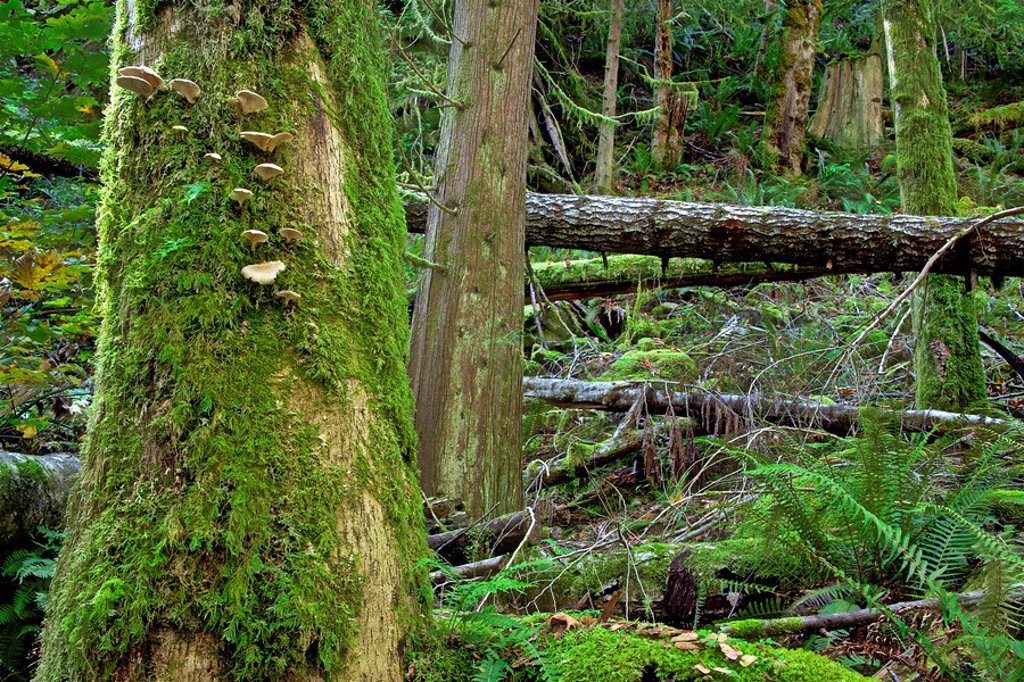 Canada, British Columbia, Moss covered trees near Sechelt. : Stock Photo