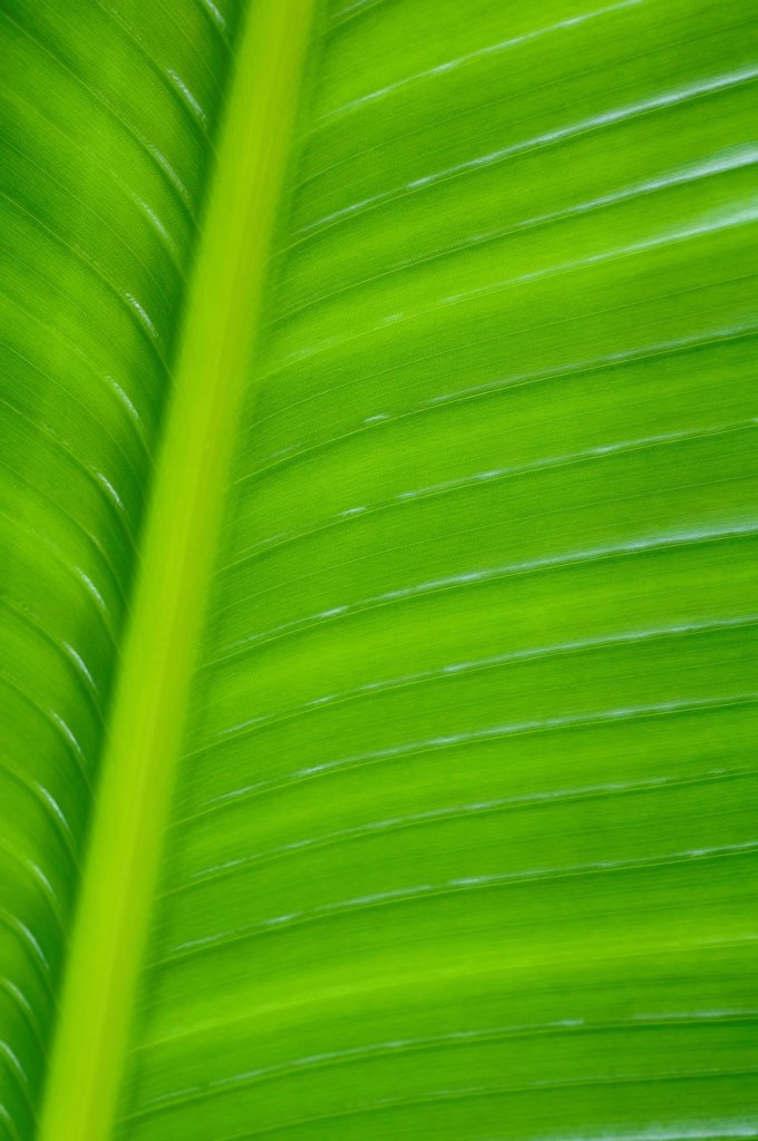 Close_up detail of a Palm leaf. : Stock Photo
