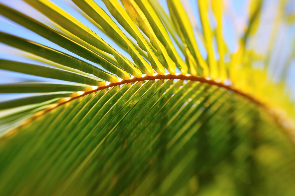 Artistic shot of a Palm leaf and branch, Shallow depth of field. : Stock Photo