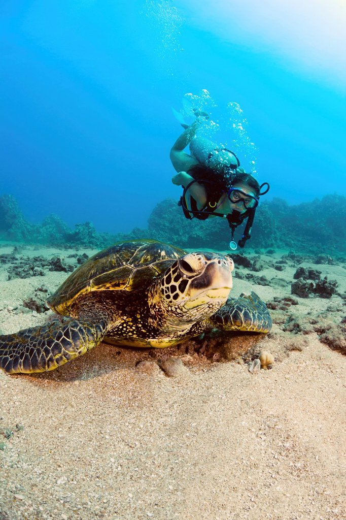 Stock Photo: 1760-15453 Hawaii, Diver gets a close_up view of a green sea turtle Chelonia mydas