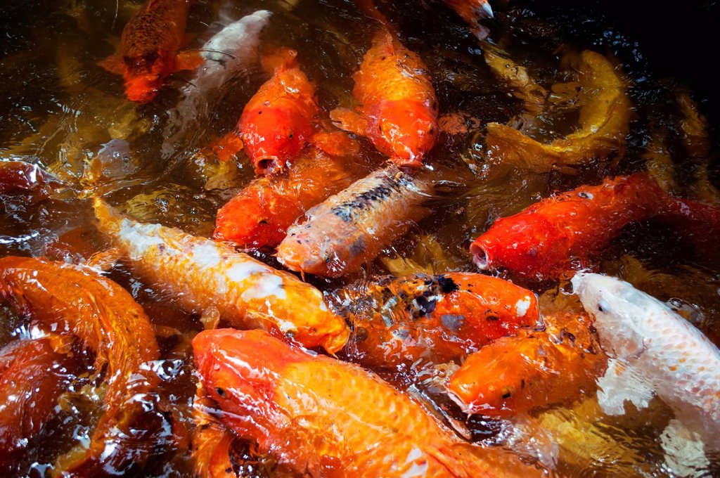 Hawaii, Oahu, Valley of the Temple, Koi fish pond : Stock Photo
