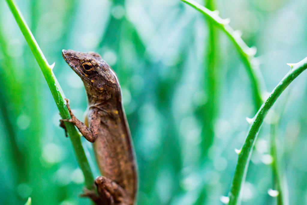 Hawaii, Maui, Macro view of brown anole lizard on plant : Stock Photo