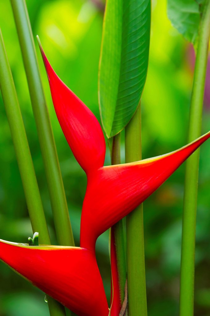 Hawaii, Maui, Heliconia flowers : Stock Photo