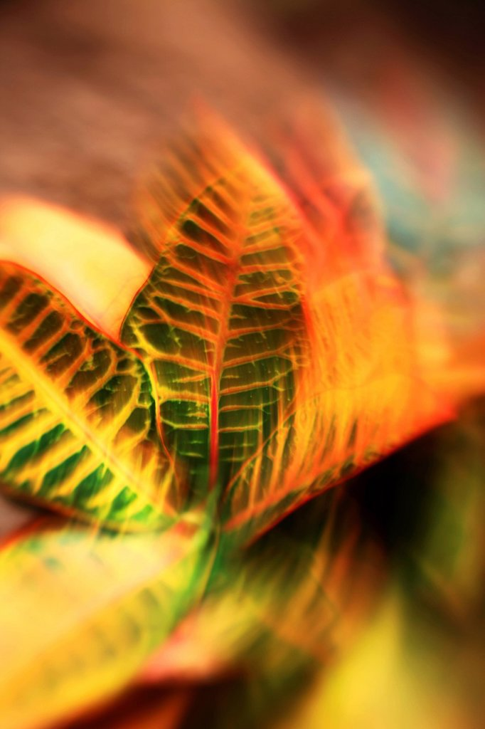 Hawaii, Oahu, Abstract image of a colorful Croton plant. : Stock Photo