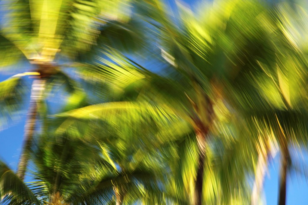Hawaii, Oahu, Abstract image of blurred palm trees. : Stock Photo