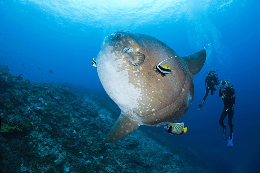 Pacific Ocean, Indonesia, Bali, Nusa Penida, Crystal Bay, Divers photograph an Ocean Sunfish Mola mola being cleaned by an Angelfish and Longfin Bannerfish : Stock Photo