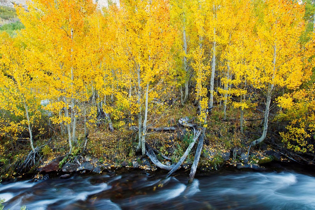 Stock Photo: 1760-15983 California, Eastern Sierras, Beautiful mountain river with vibrant aspen trees.