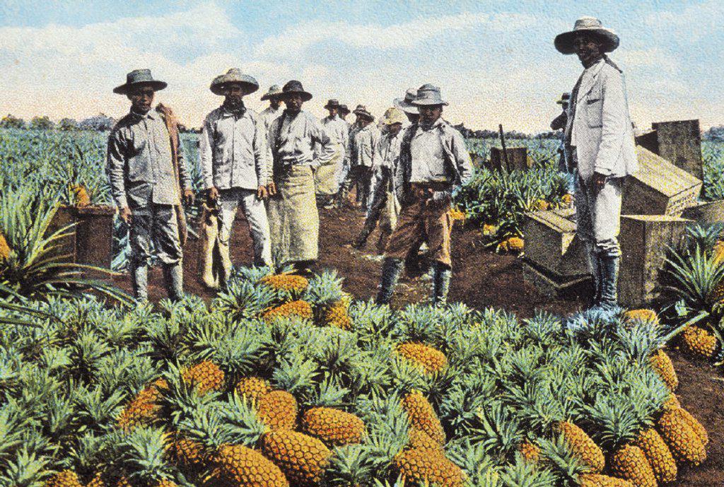 c.1905 Hawaii, Oahu, Wahiawa, farmers standing in field over ripe pineapples, postcard : Stock Photo