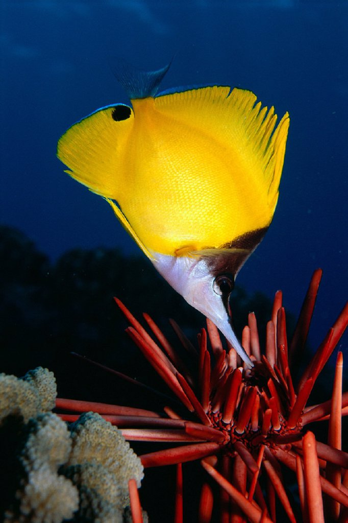 Hawaii, longnose butterfly fish (forcipiger sp?) over pencil urchin A85D : Stock Photo