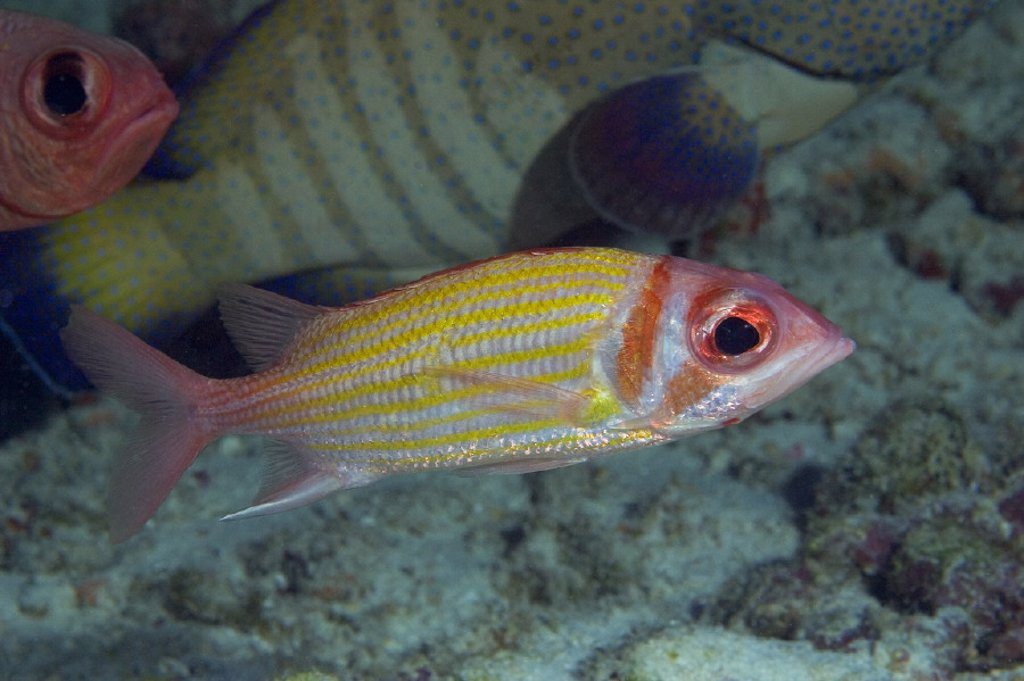 Hawaii, Goldlined squirrelfish (Neoniphon aurolineatus) at the edge of a school. : Stock Photo