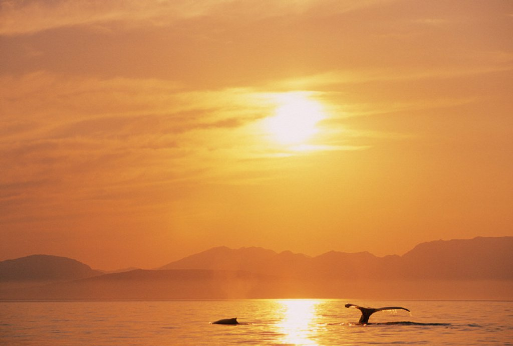 Alaska, Inside Passage, Tongass National Forest, Fluke of a humpback whale at sunset. : Stock Photo