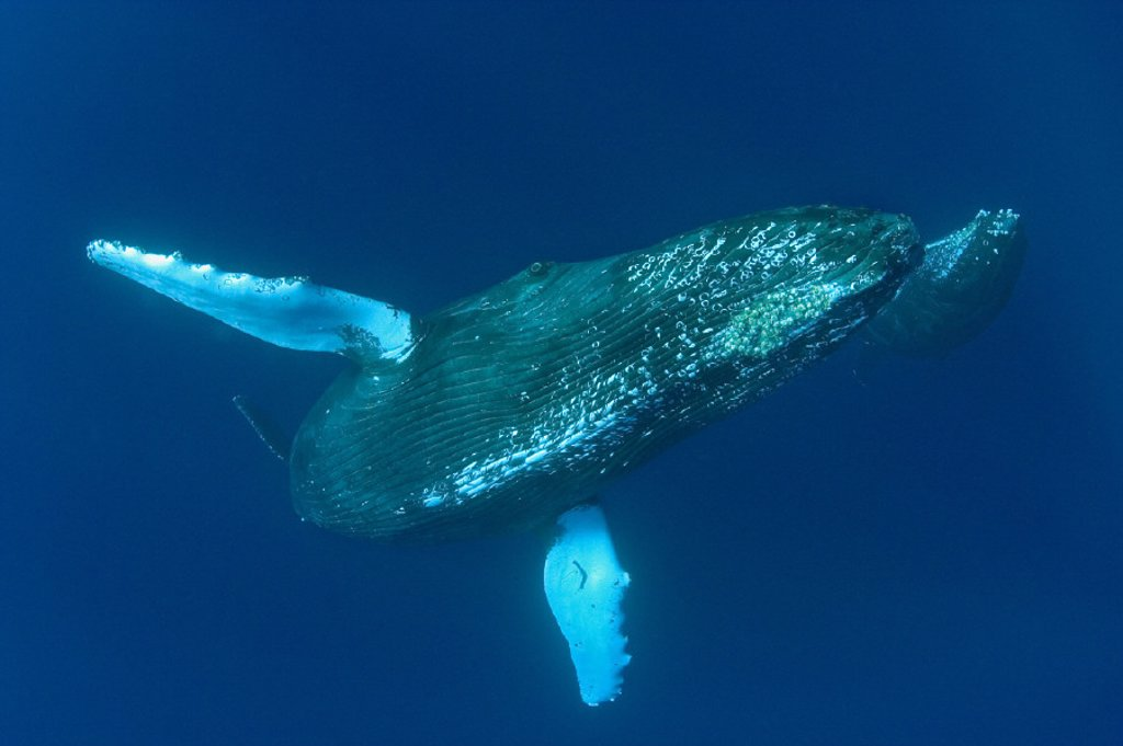 Stock Photo: 1760-18486 Hawaii, Humpback whale and calf (megaptera novaeangliae) swimming in deep blue ocean.