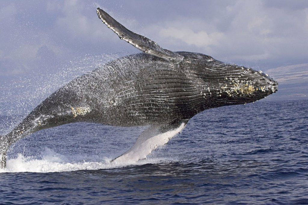 Stock Photo: 1760-18524 Hawaii, Humpback Whale (Megaptera novaeangliae) breaching.