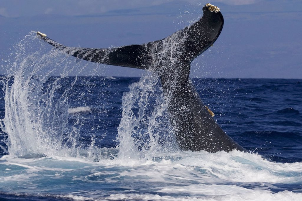 Hawaii, Big Island, Kona, Humpback Whale (Megaptera novaeangliae) fluking. : Stock Photo