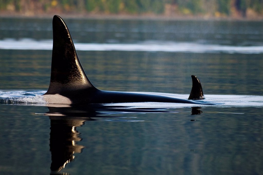 Alaska, An Orca Whale surfaces on inside passage. : Stock Photo