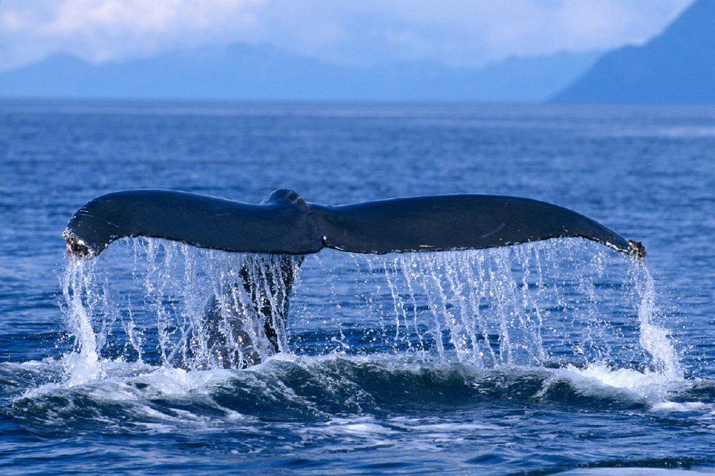 Stock Photo: 1760-1968 Alaska, Frederick Sound, Humpback Whale fluke, Megaptera novaeangliae C2008