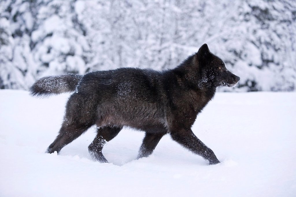 Alaska, Inside Passage, Adult male, Black Wolf in snow. : Stock Photo