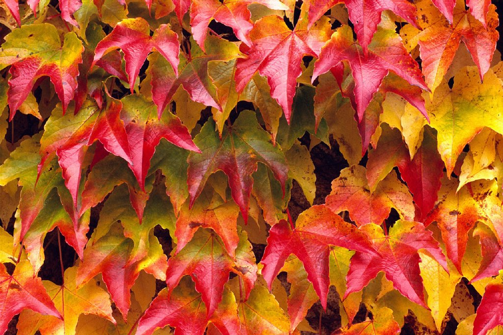 Stock Photo: 1760-21796 Closeup of group of fall color ivy growing together