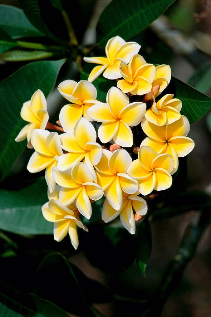 Yellow plumeria flowers blossoms aka frangipani, pua melia on tree A23G : Stock Photo