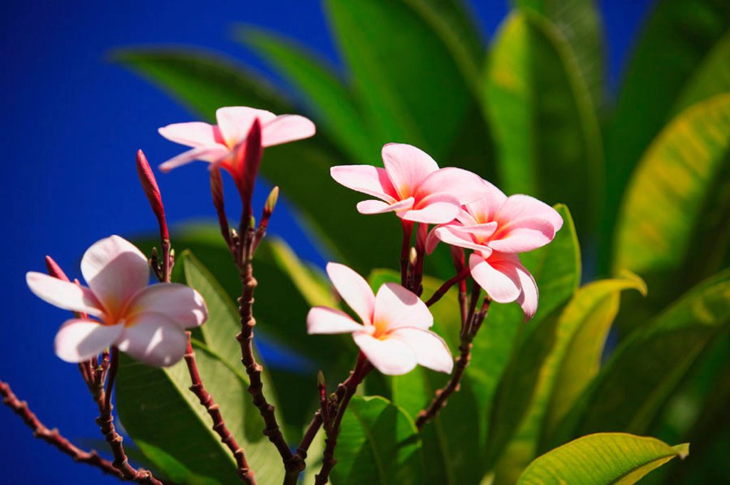Stock Photo: 1760-2989 Pink plumeria blossoms growing from tree, blue sky