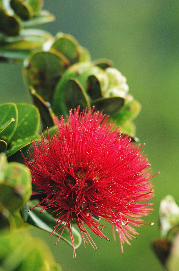 Hawaii, Big Island, Hawaii Volcanoes National Park, Ohi´a Lehua blossom : Stock Photo