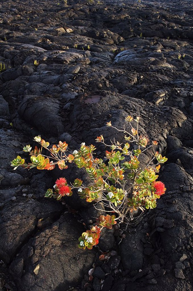 Hawaii, Big Island, Hawaii Volcanoes National Park, Chain of Craters Road, Ohi´a Lehua tree growing on Pahoehoe lava flow from Mauna Ulu eruption : Stock Photo