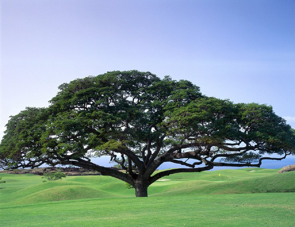 HI, BigIsle, Keahou, Monkey Pod Tree, Kona Country Club Golf Course B1626 : Stock Photo