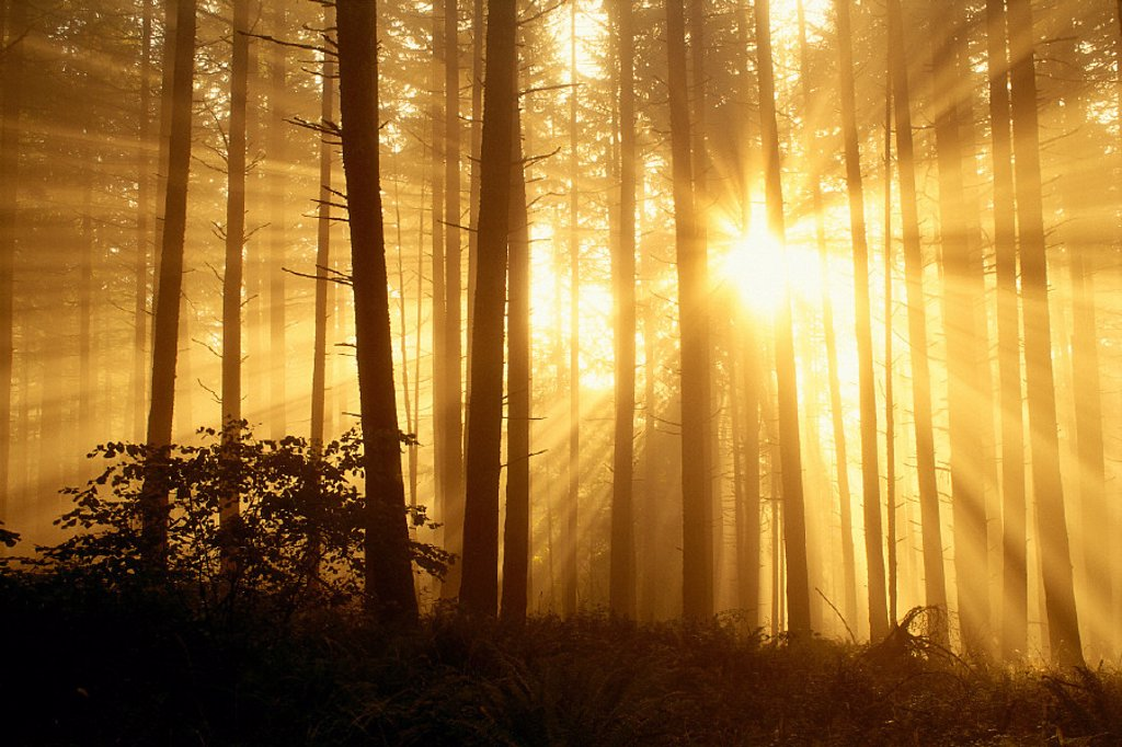 Stock Photo: 1760-3058 Oregon Eugene, Spencer Butte Park sunlight filters thru fog, trees in forest A24E