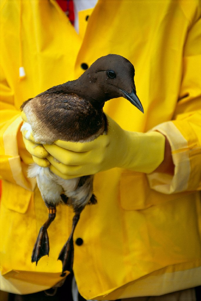 Stock Photo: 1760-3073 Common Murre oil soaked at Wildlife rescue center; Makah Reservation WA B1613