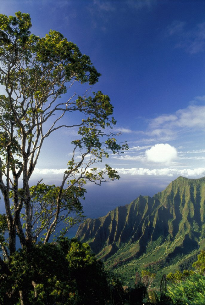 Stock Photo: 1760-3680 Kauai Kalalau Valley lookout pali afternoon light, ohia tree D1525 cloud layers background blue sky