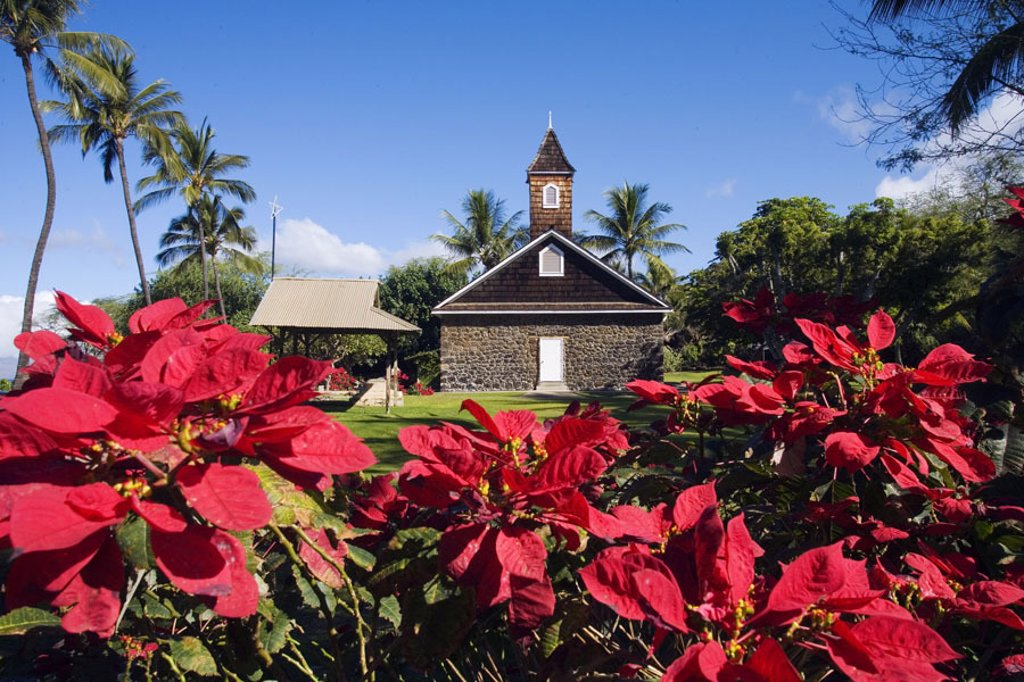 Stock Photo: 1760-3907 Hawaii, Maui, Makena, Poinsettia blossoms at Keawala´i Congregational Church, est. 1832