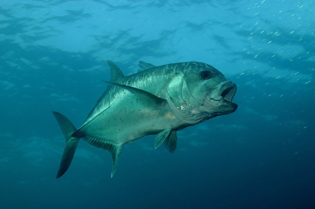 Northwest Hawaiian Islands, Necker, Giant trevally, Ulua aukea, Caranx ignobilis, Mokumanamana [For use up to 13x20 only] : Stock Photo
