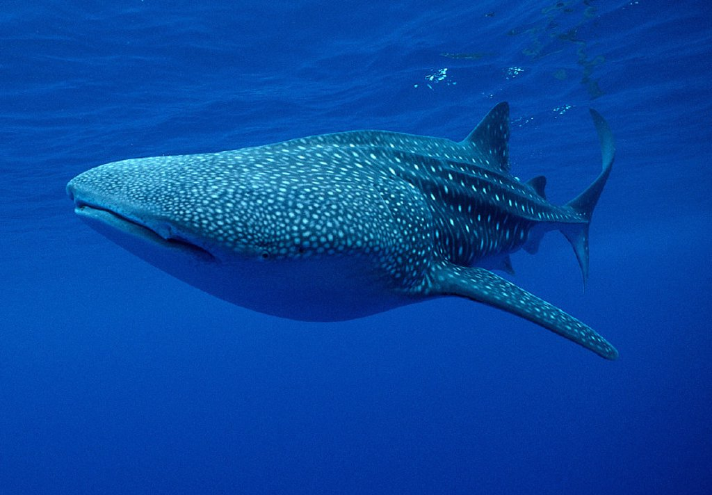 Stock Photo: 1760-5055 Hawaii, large Whale shark side view, near surface clear blue ocean   A78G