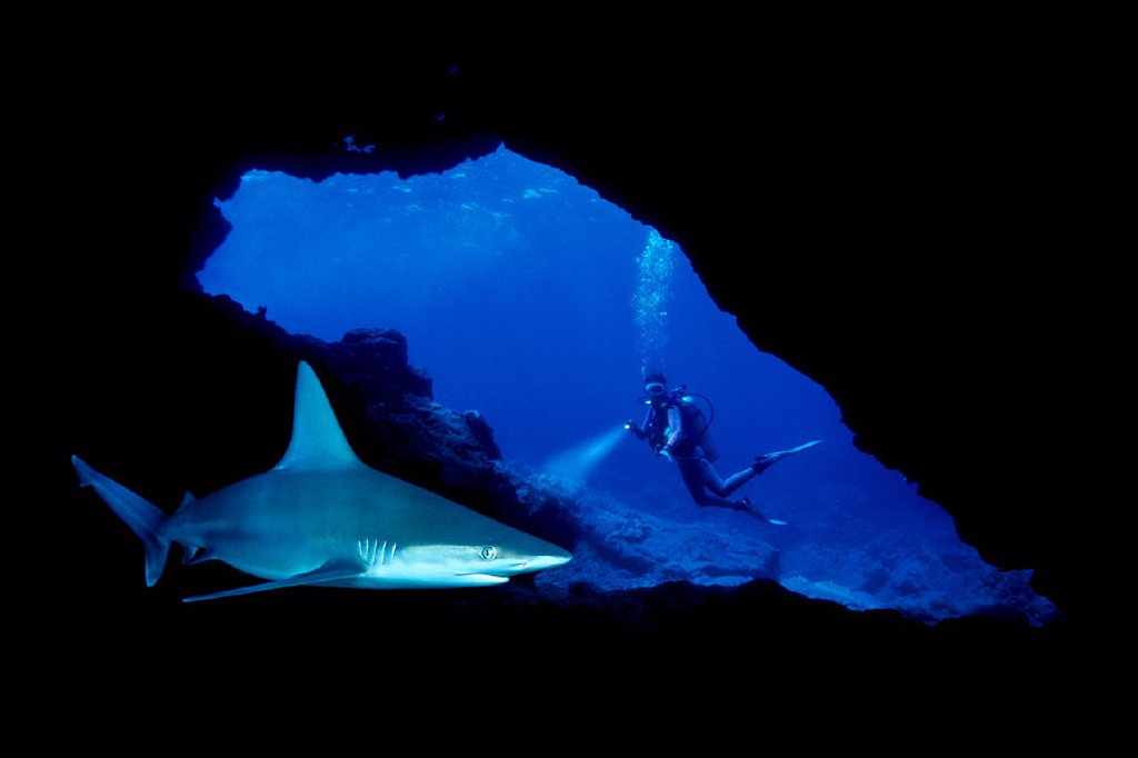 DC, closeup of sandbar shark in cave, diver at entrance, bubbles C2073/n(Carcharhinus plumbeus) CM-2078 : Stock Photo