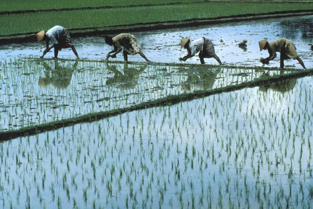 Indonesia, Java, four women in fields planting rice, shadow and reflections in water. NO MODEL RELEASE : Stock Photo