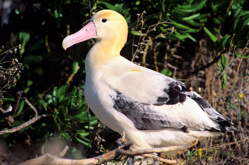 Stock Photo: 1760-6541 Northwest Hawaiian Islands, Midway Atoll, Sand Island, Short-tailed Albatross Diomedea albaatrus