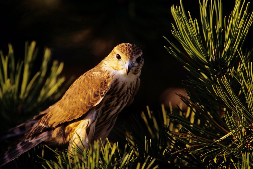 Colorado, Front Range, Merlin Falco columbarius in ponderosa pine : Stock Photo