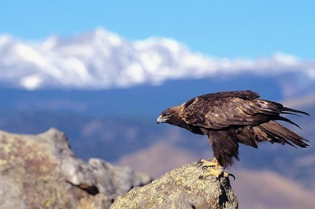 Stock Photo: 1760-6598 Colorado, Roosevelt National Forest, Golden Eagle Aquila chrysaetos