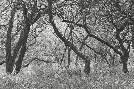 Hawaii, Lanai, Manele Bay Beach Park, Grove of kiawe mesquite trees Black and white photograph : Stock Photo