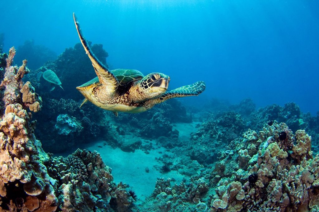 Stock Photo: 1760-7162 Hawaii, Green sea turtle Chelonia mydas an endangered species