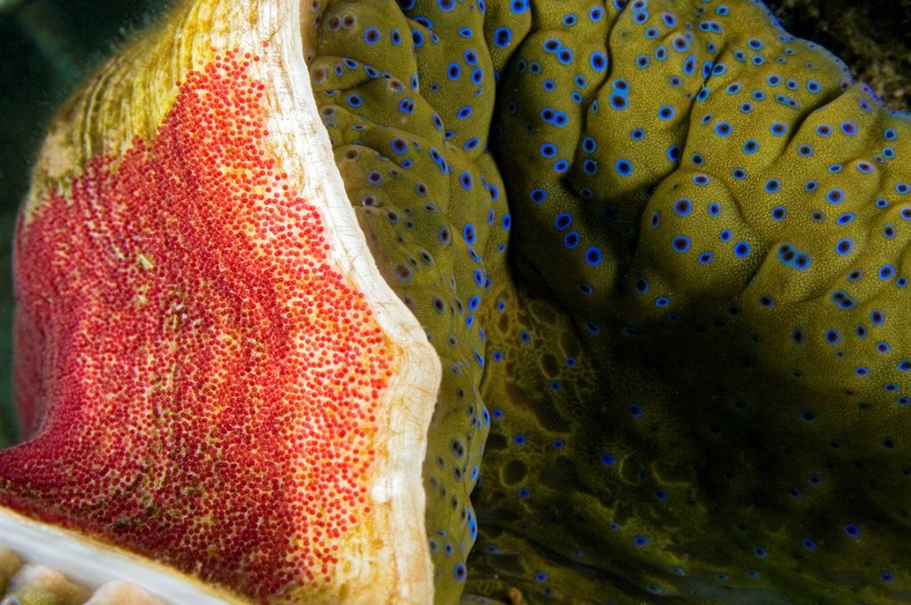 Stock Photo: 1760-7238 Fiji, Indo-Pacific sergeant major egg mass on the shell of a giant tridacna clam Tridacna gigas